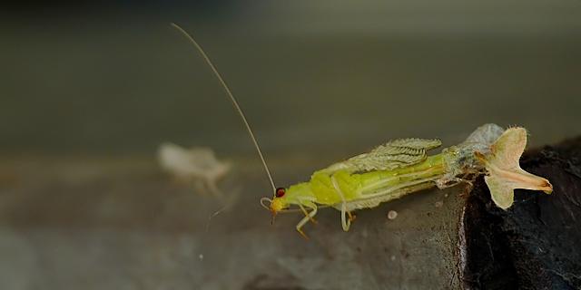 Chrysopa sp.