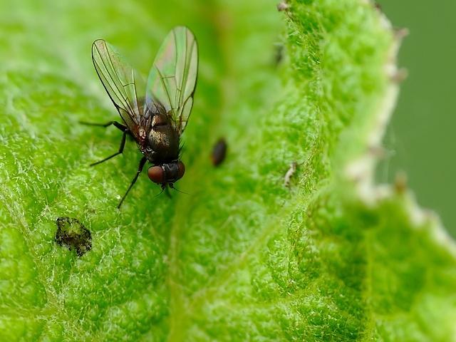 Agromyzidae