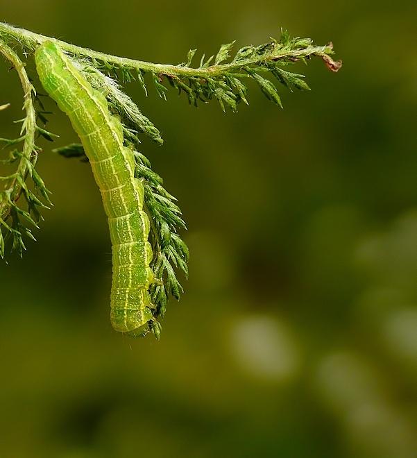 gąsienica ćmy