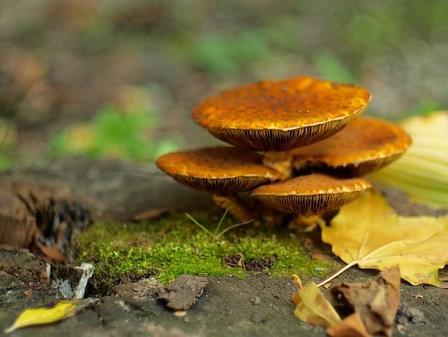 Pholiota sp.