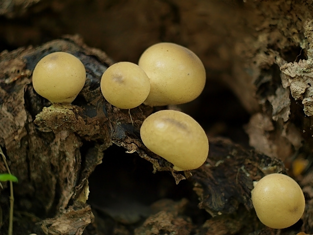 Lycoperdon sp.