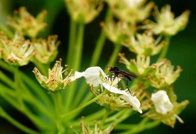 Empididae/Hybotidae