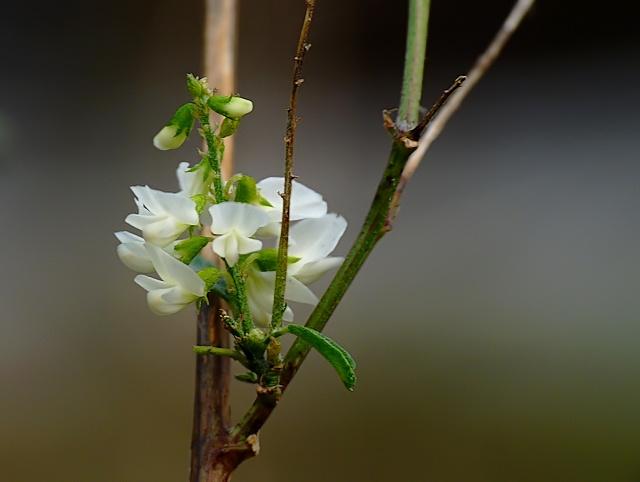 Melilotus alba