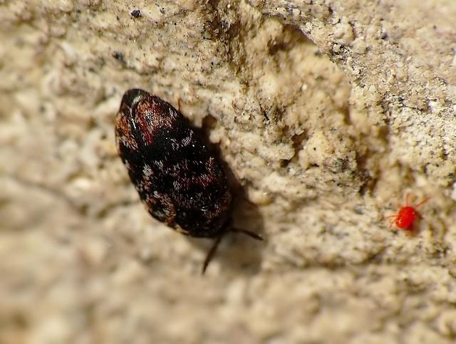 Trogoderma versicolor