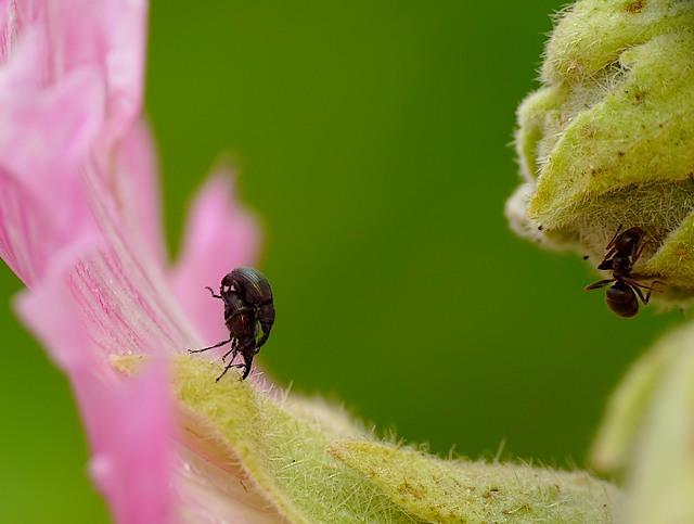 Apionidae