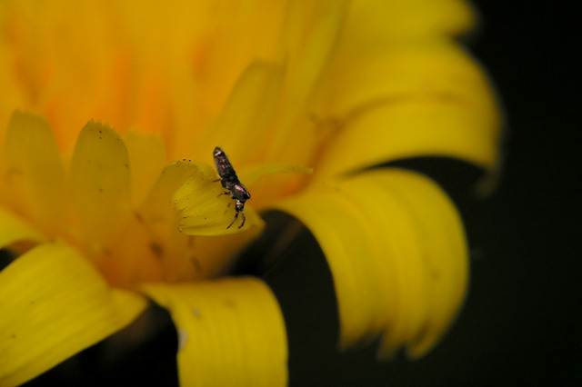 Lepidocyrtus sp.