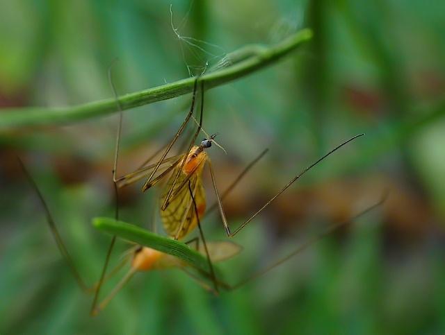 Limoniidae