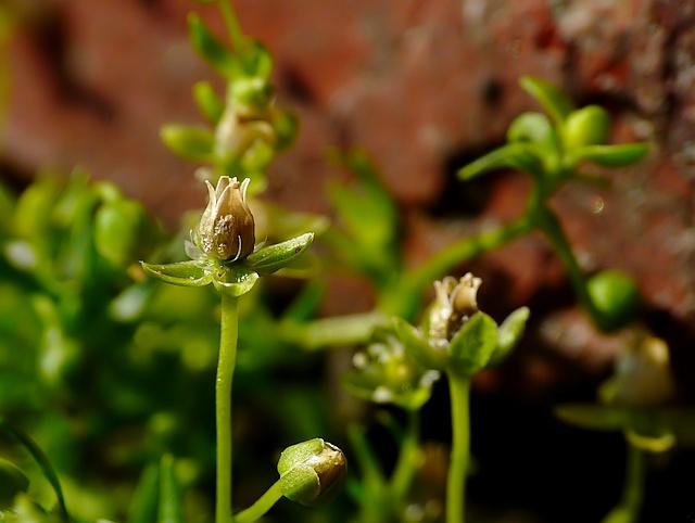 Sagina procumbens