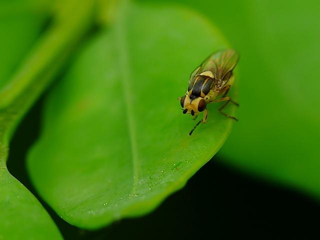 Chloropidae