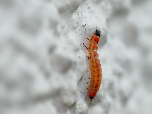 larwa chrząszcza