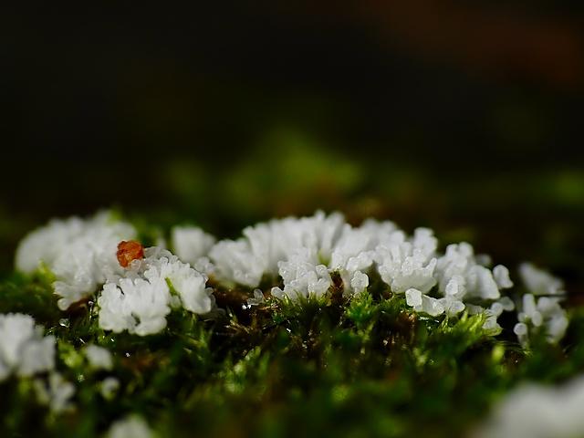 Ceratiomyxa fruticulosa?