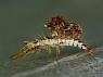 larwy sieciarek