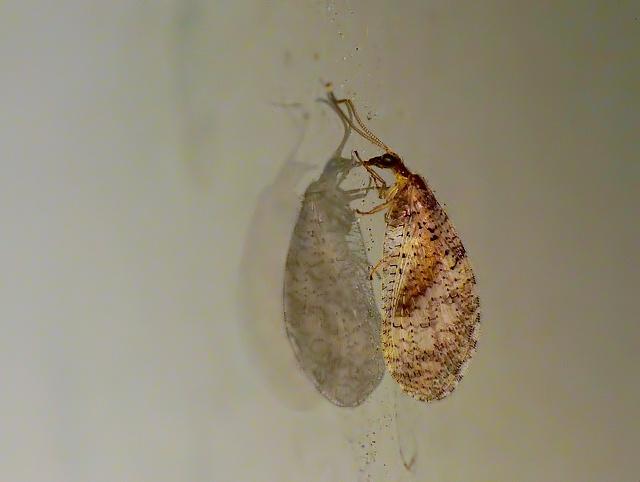 Hemerobius humulinus