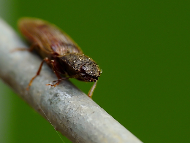 Elateridae