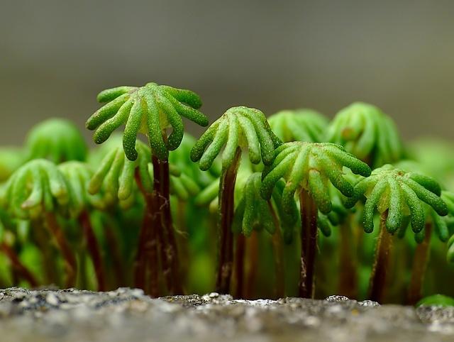 Marchantia polymorpha