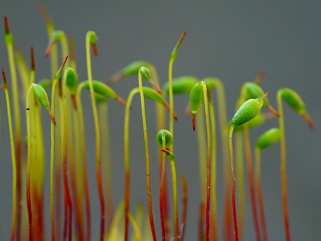 Bryum capillare
