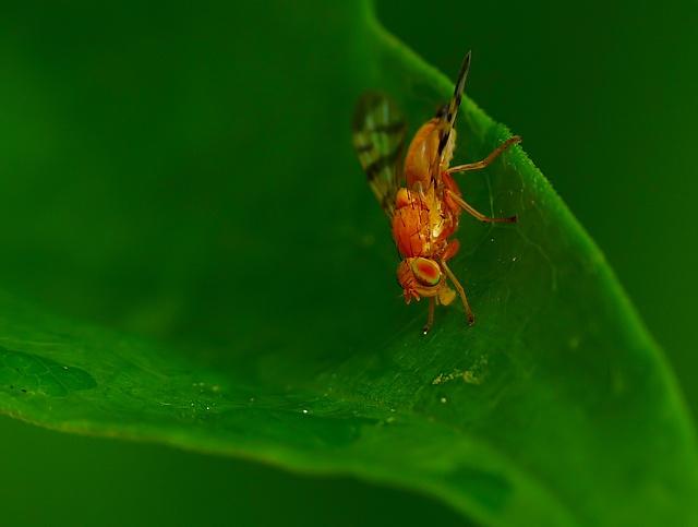 Tephritidae