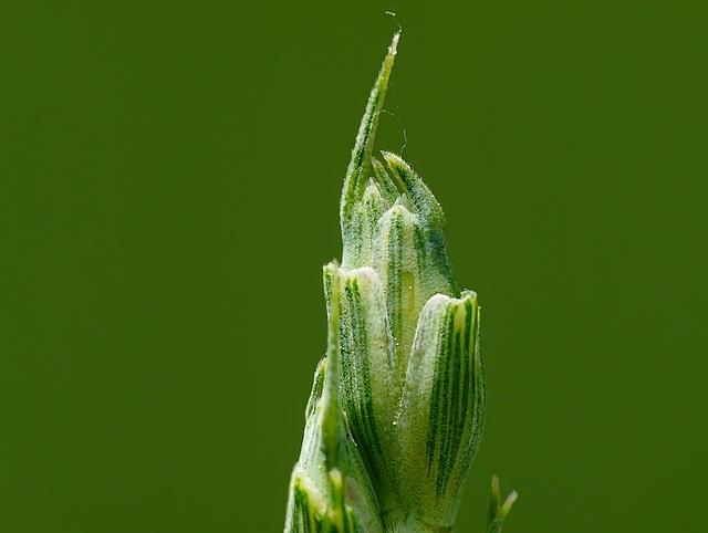 Triticum sp.