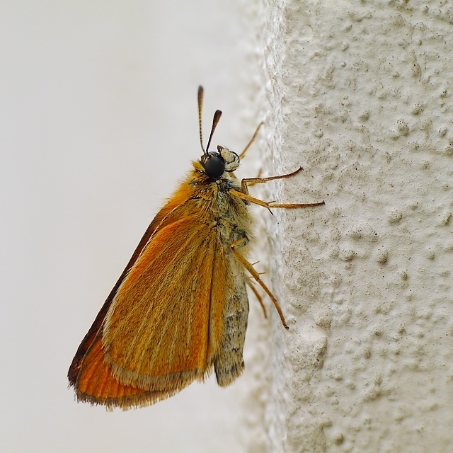 Thymelicus lineola?
