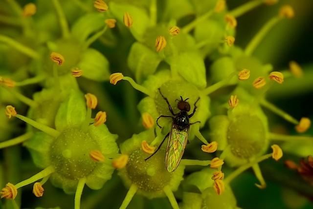Dilophus febrilis