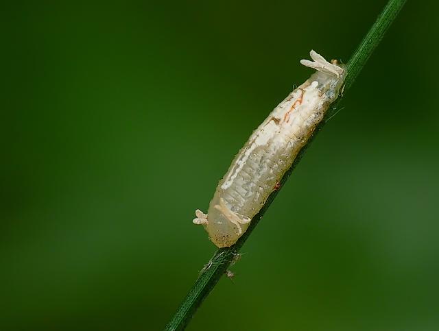 Episyrphus balteatus?