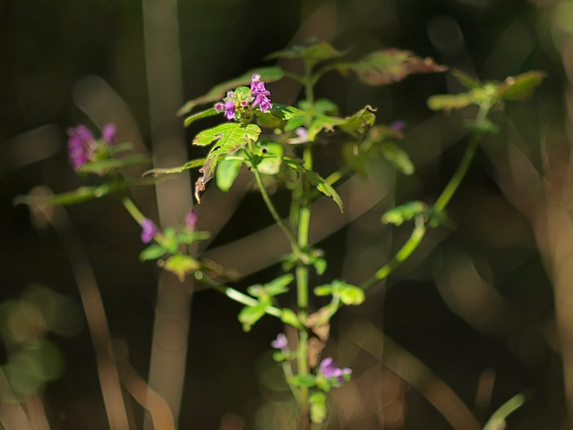 Galeopsis pubescens