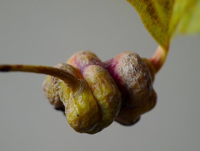 Pemphigus spirothecae