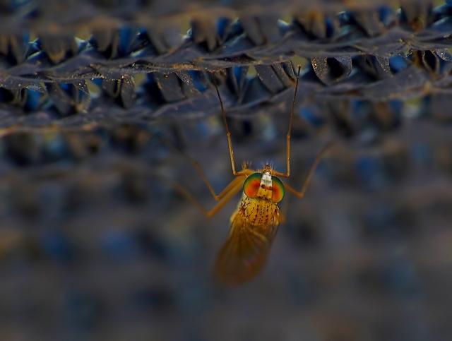 Dolichopodidae
