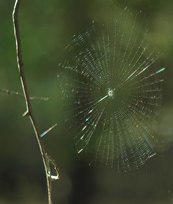 Metellina segmentata