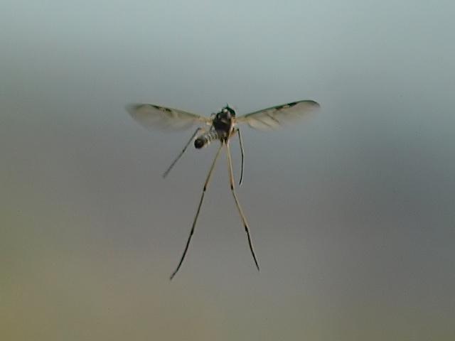 Anisopodidae?