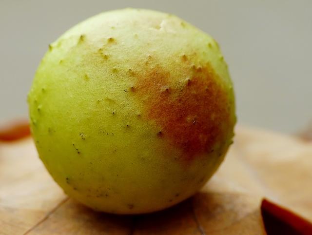 Cynips quercus folii