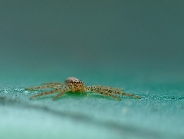 Philodromus sp.