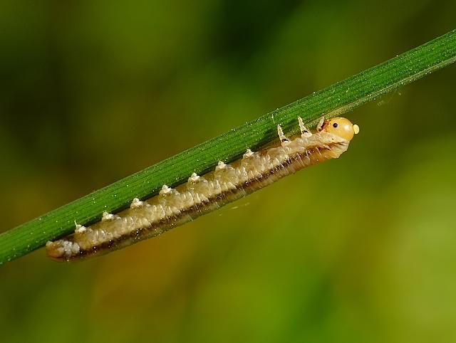 larwa błonkówki