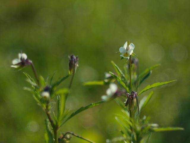 Viola arvensis