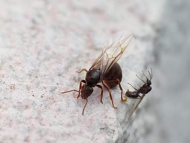 Lasius niger/brunneus