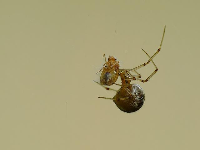 Theridiidae
