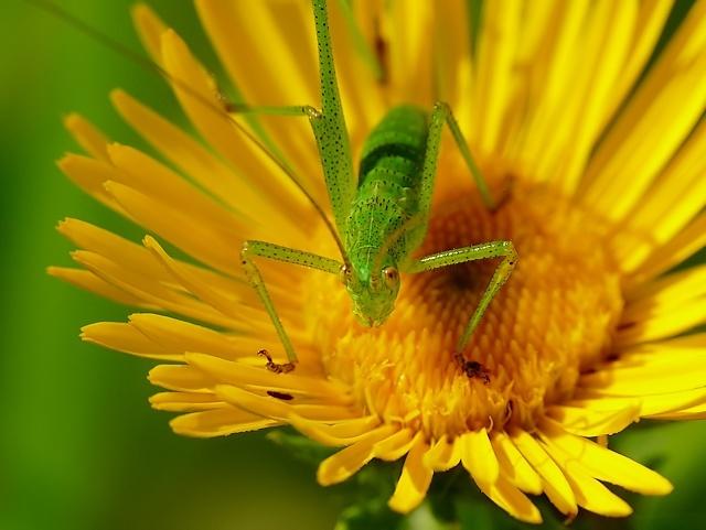 Phaneroptera falcata