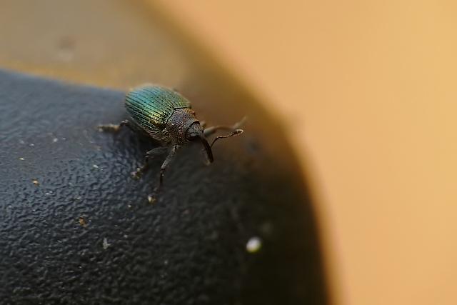 Ceutorhynchus sp.