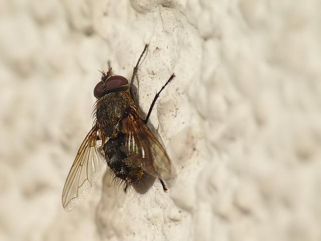 Pollenia sp.