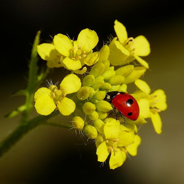 Coccinella quinquepunctata