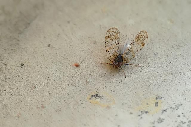 Tachycixius pilosus