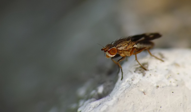 Trixoscelis marginella