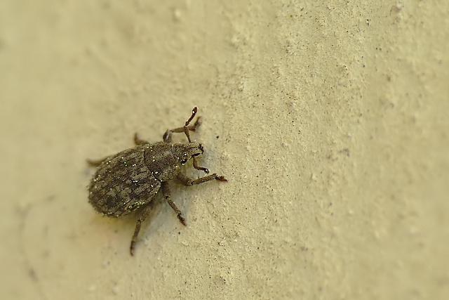 Trachyphloeus sp.