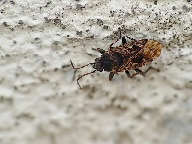 Sphragisticus nebulosus