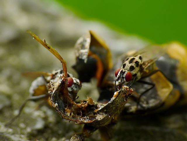 Anthomyia sp.