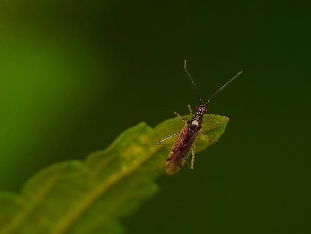 Dicyphus epilobii