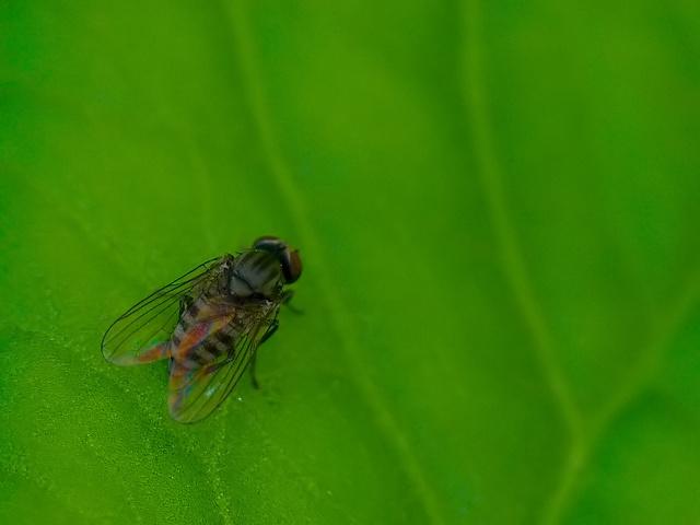 Platypezidae