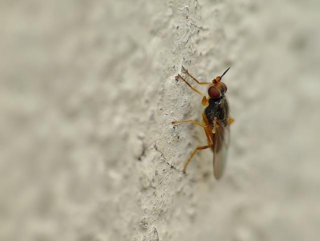 Elachiptera cornuta