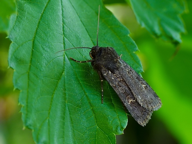 Noctuidae