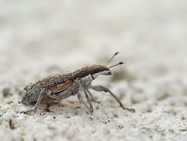Charagmus griseus
